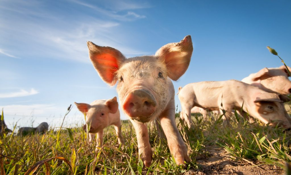 ASF Numbers in Germany Grow; U.S. Hog Futures Rise
